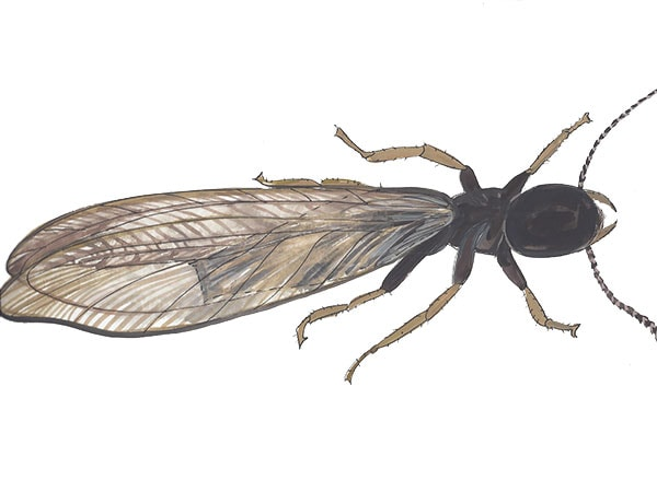 Termiten Königin